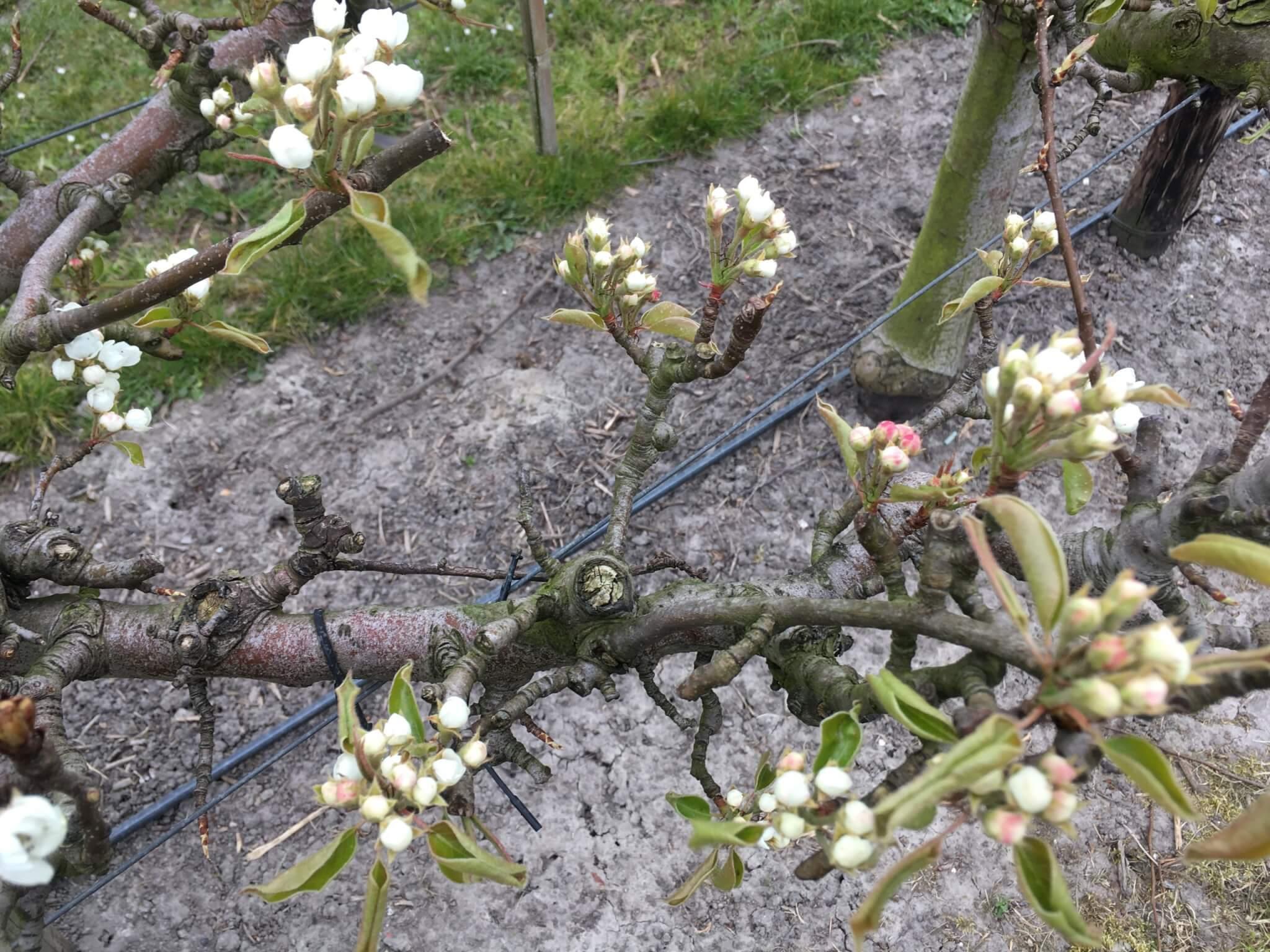 Fruitbedrijf Van den Berge: Bloei 2020 5