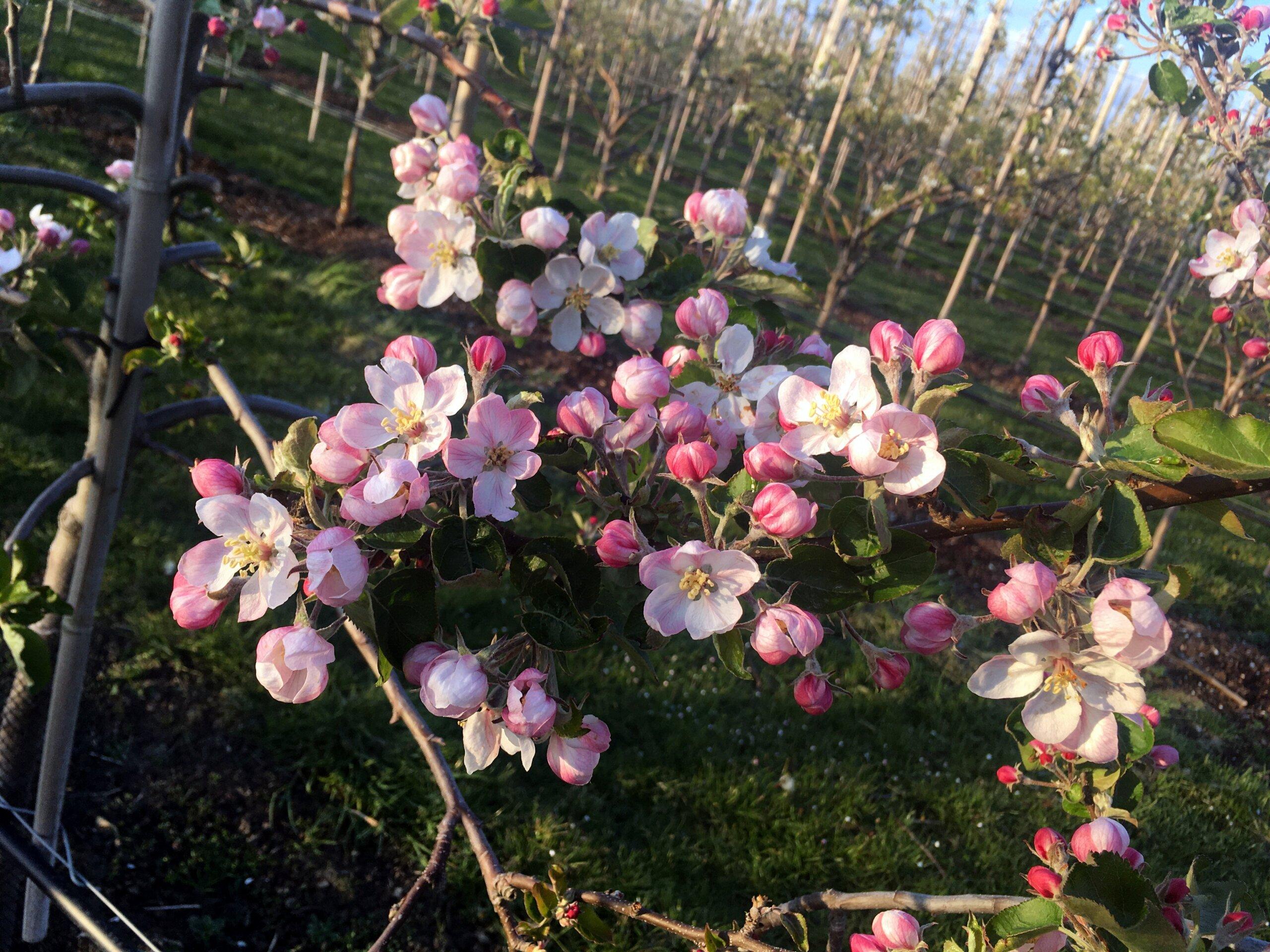 Fruitbedrijf van den Berge-appelbloei  5-5-2021